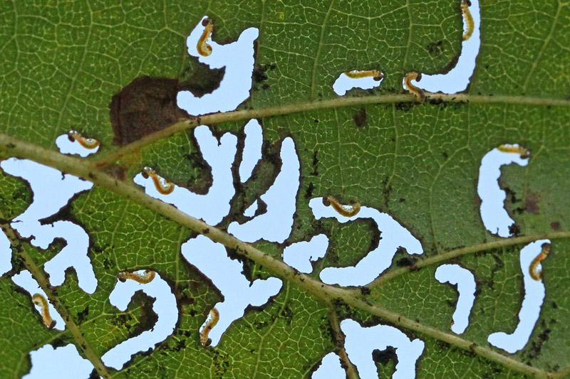 Bladwesp Hemichroa crocea larven Berkheide