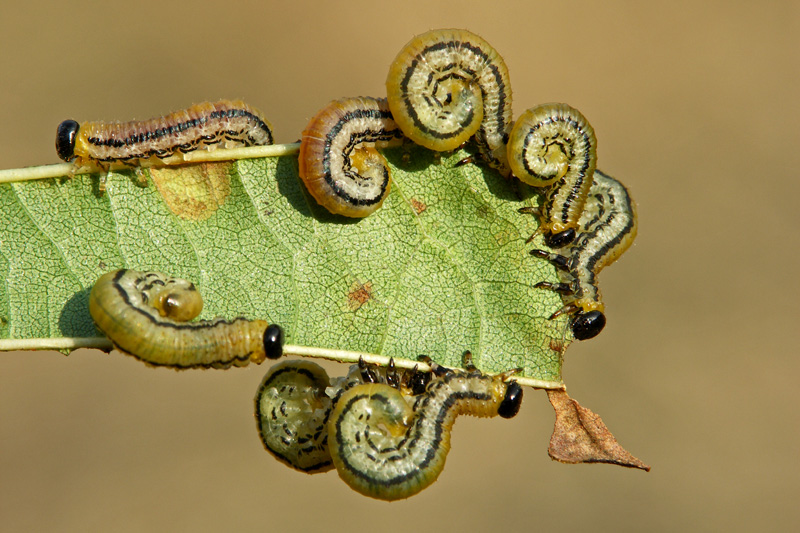 Bladwesp Nematus larve Zwarte Els Berkheide