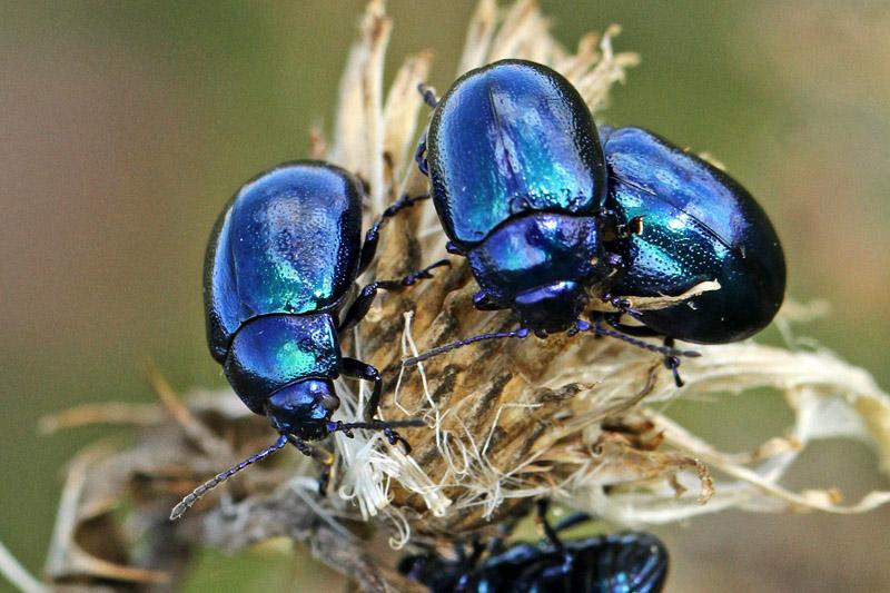 Blauw Muntgoudhaantje kever Berkheide Lentevreugd