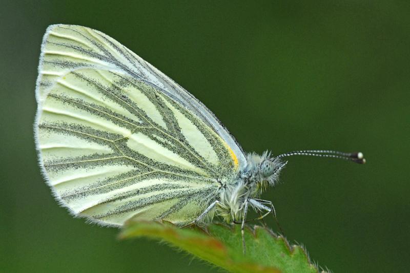 Klein geaderd Witje Berkheide dagvlinder