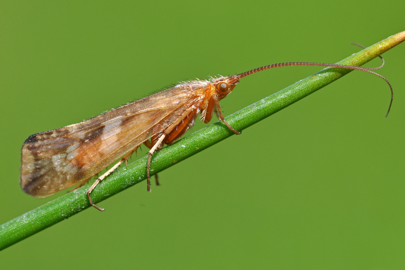 Schietmot Limnephilus lunatus Berkheide