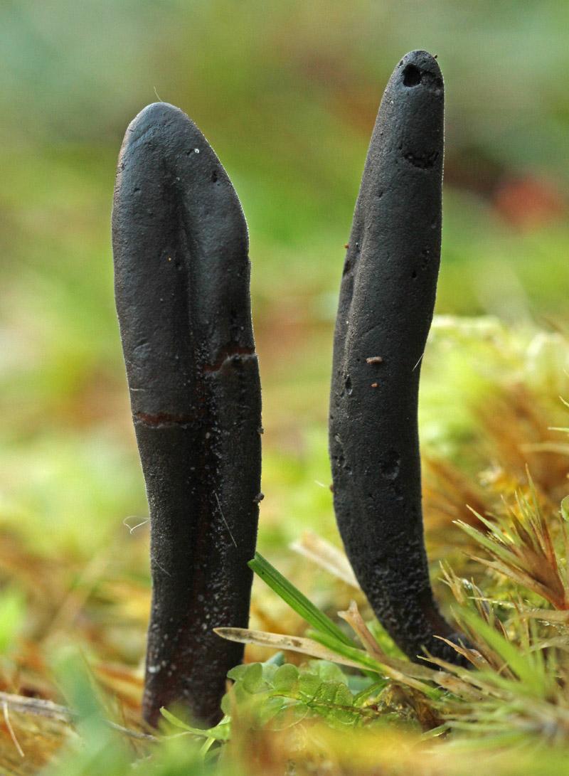 Cooke's Aardtong Berkheide paddestoel zwart