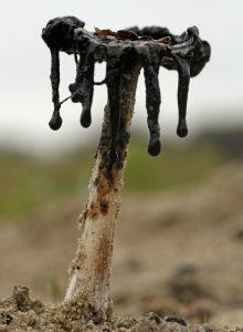Geschubde Inktzwam Paddestoel Berkheide zwart