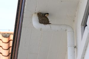 Huiszwaluw nest regenpijp Duinoord Berkheide