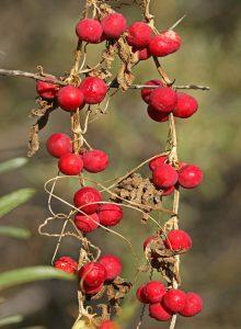 Heggenrank bessen rood Berkheide