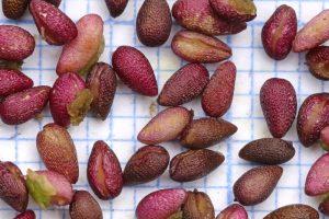 Moeraskartelblad zaad zaden Berkheide