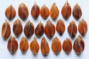 Beuk nootjes noten beukennootjes Berkheide