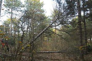 Dennen bomen vellen Ganzenhoek Wassenaar