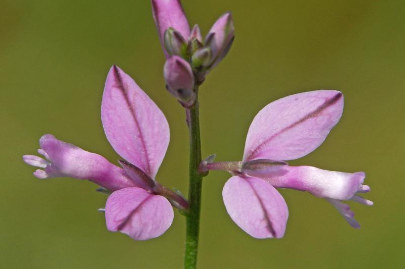 Gewone Vleugeltjesbloem roze Berkheide
