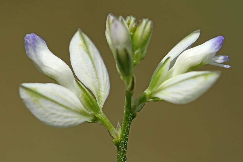 Gewone Vleugeltjesbloem wit Berkheide
