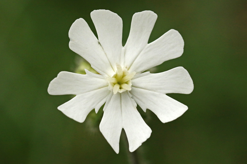Avondkoekoeksbloem wit Berkheide