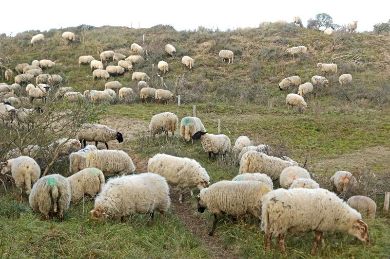 Drents heideschaap - Berkheide, kavel 4a - 11 november 2017 - Gerrit van Ommering