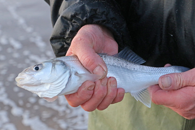 Zeebaars Berkheide strand vis