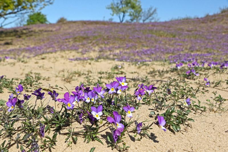 Duinviooltje Berkheide massaal bloeiend