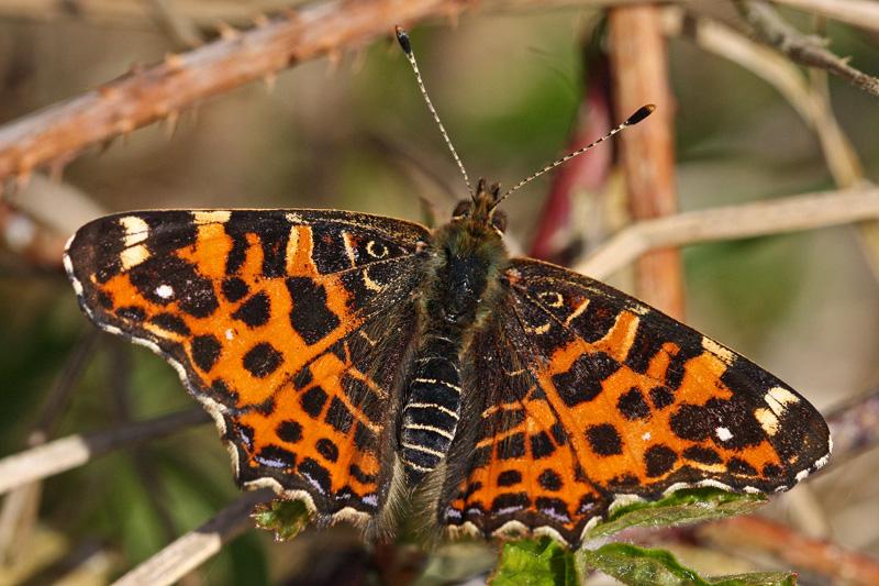 Landkaartje dagvlinder schoenlapper