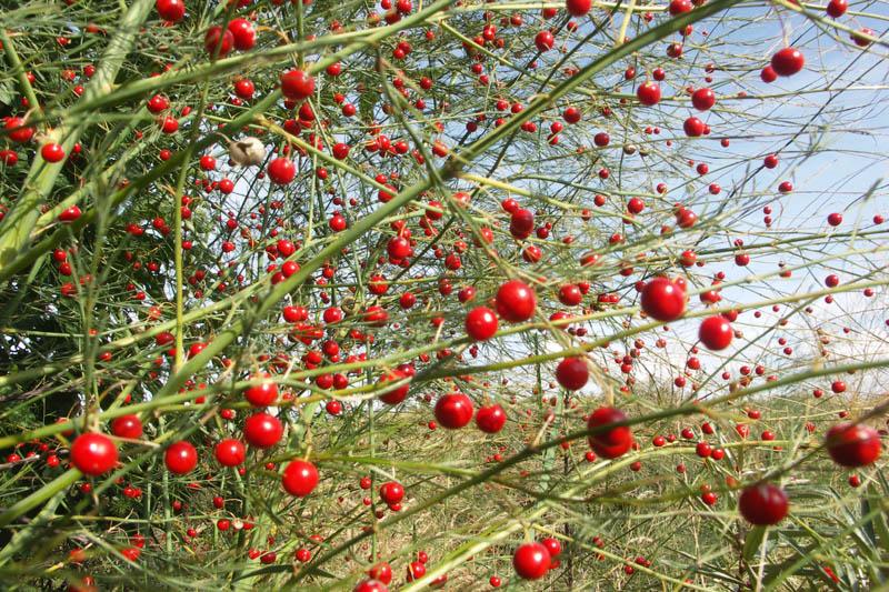 Asperge bessen rijpe rood Berkheide