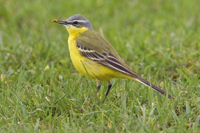 Gele Kwikstaart Berkheide vogels planten Lentevreugd
