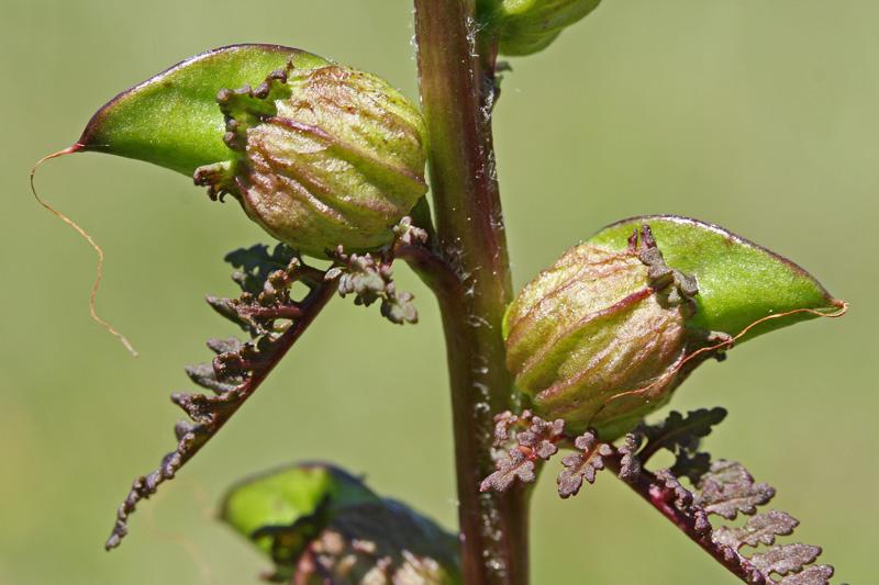 Moeraskartelblad vruchten Berkheide Winning 3