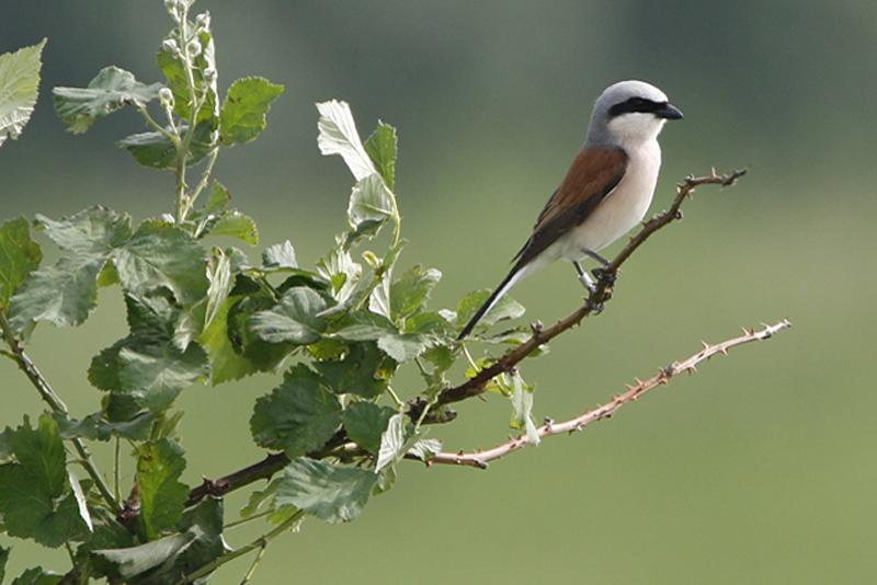 Grauwe Klauwier Berkheide vogels planten Lentevreugd