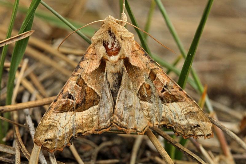 Agaatvlinder nachtvlinder Berkheide