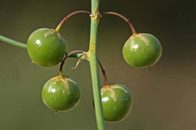 Asperge bessen jong groen Berkheide