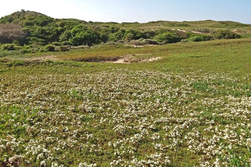Berkheide Duinroos bloeiend