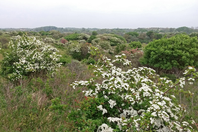 Berkheide Meidoorn bloeiend roze wit duinen