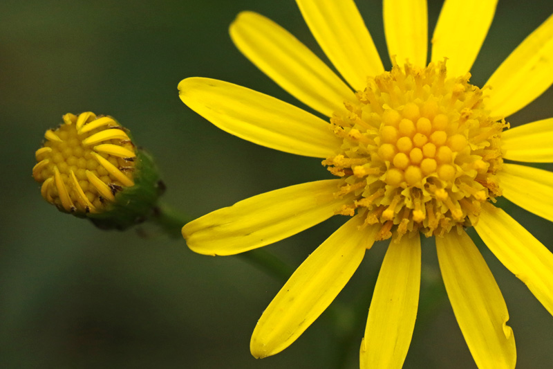 Bezemkruiskruid Berkheide exoot plant