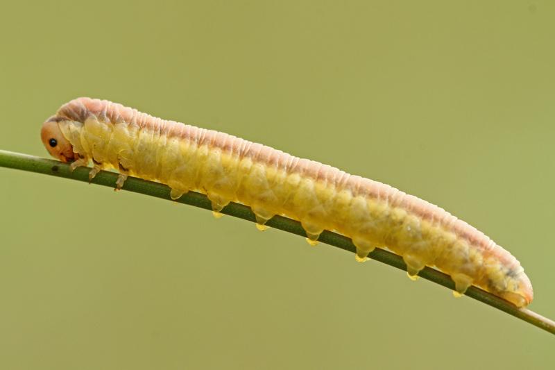 Bladwesp larve Berkheide