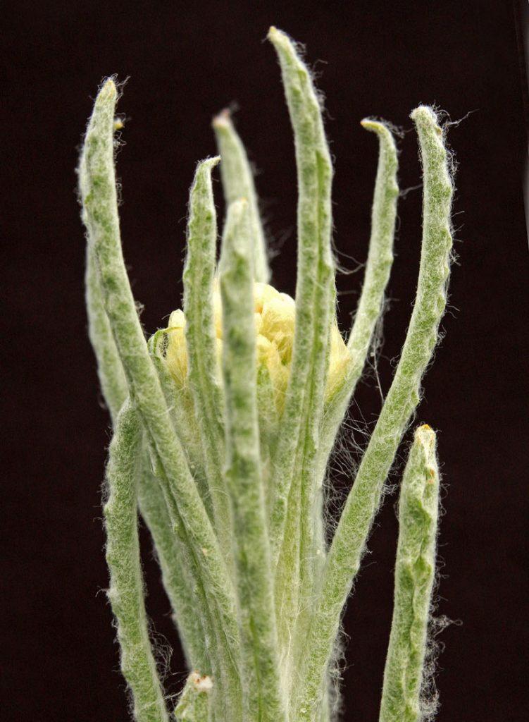 Bleekgele Droogbloem Berklheide plant