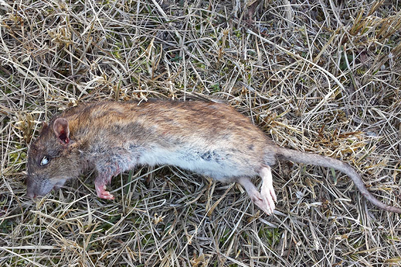 Bruine Rat, dood exemplaar met aangevreten borst en bloed bij bek, neus en linkeroor - Berkheide, kavel 5a - 19 maart 2018 - Gerrit van Ommering