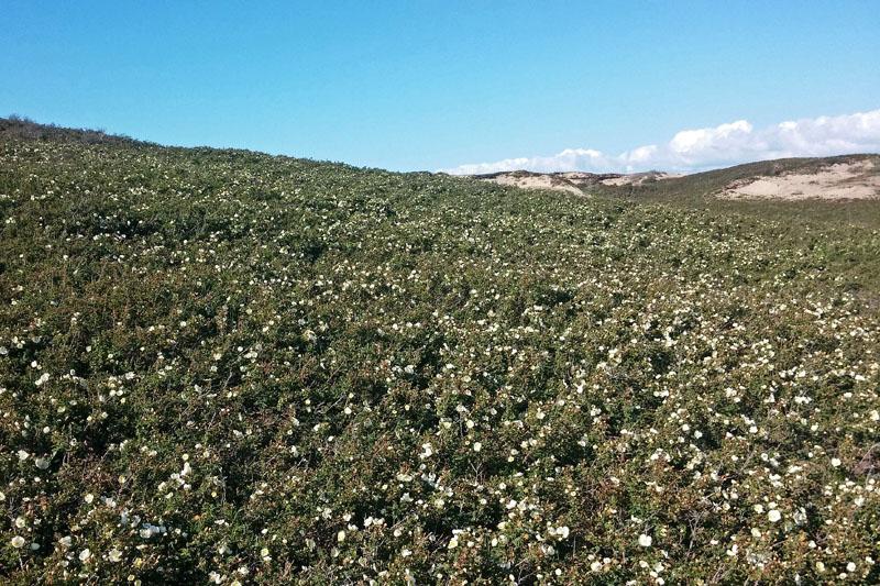 Coepelduynen Duinroos massaal bloeiend