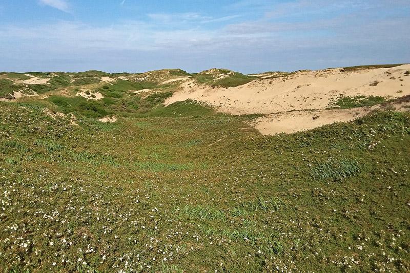 Coepelduynen kavel C2 landschap Duinroos bloeiend