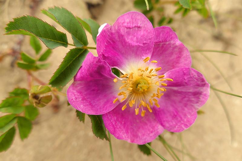 Duinroos afwijkend roze Berkheide Vlaggeduin bloem