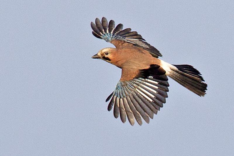 Berkheide vogels planten Lentevreugd gaai