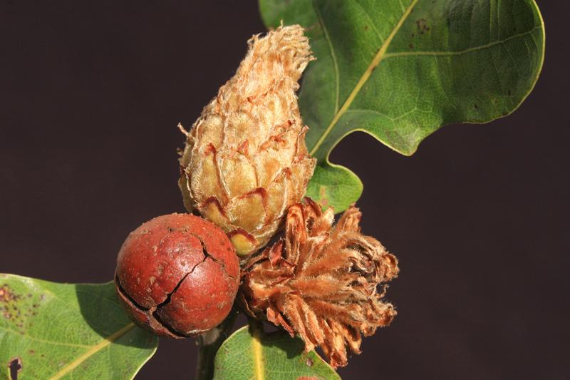 Galwesp Andricus foecundatrix Appelgal Cynips quercusfolii Ananasgal Zomereik Berkheide