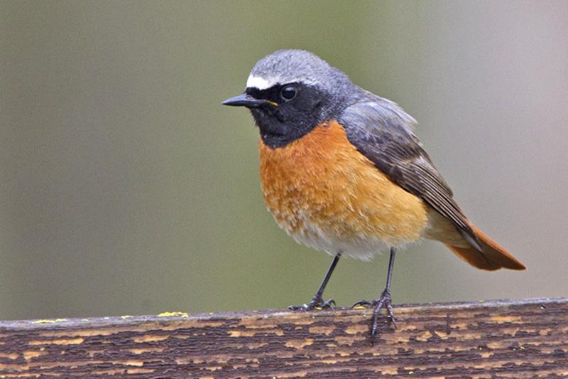 Gekraagde roodstaart Berkheide vogels planten Lentevreugd