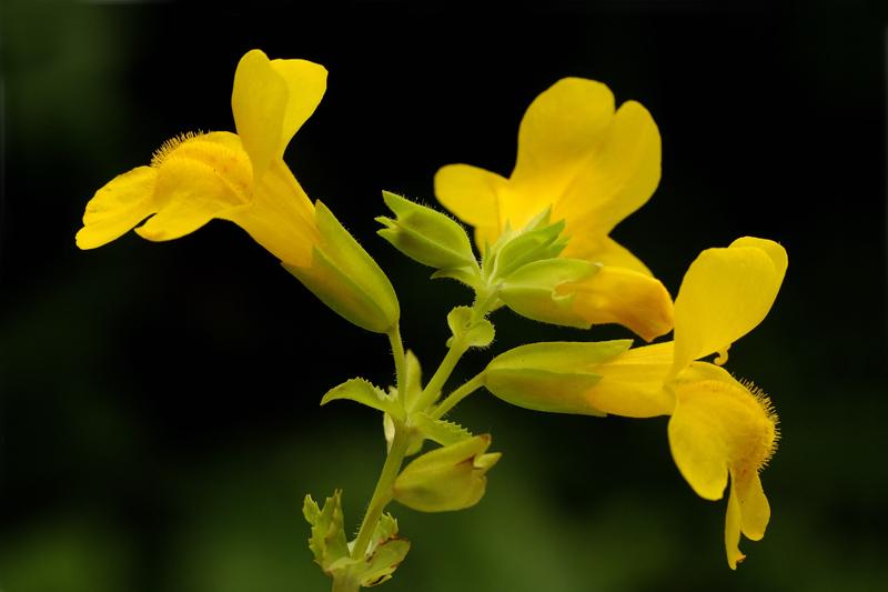 Gele Maskerbloem Berkheide Lentevreugd