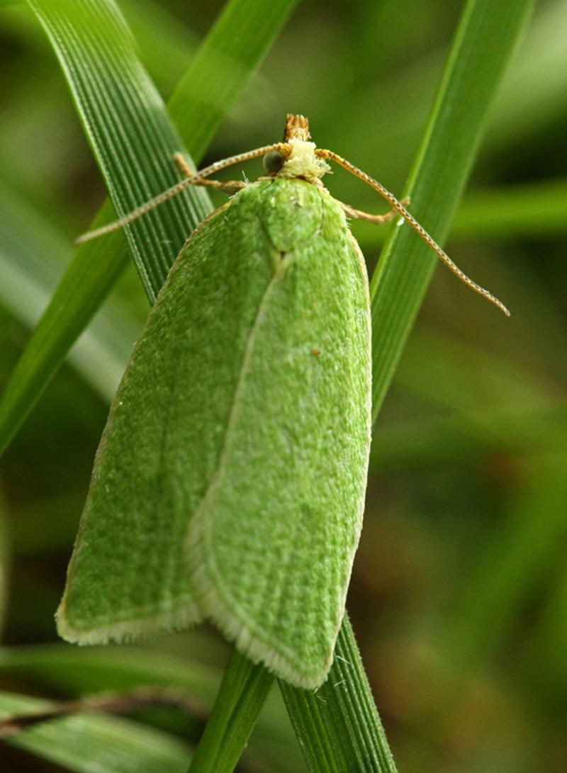 Groene Eikenbladroller Berkheide Panbos Pan van Persijn groen nachtvlinder