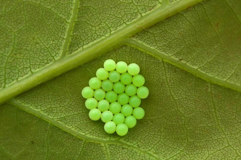 Groene Stinkwants eitjes Berkheide