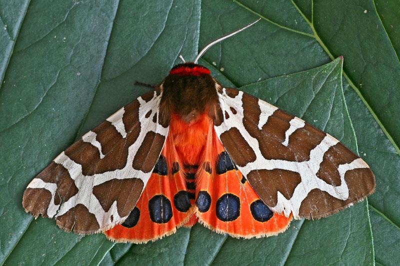 Grote Beervlinder - Berkheide