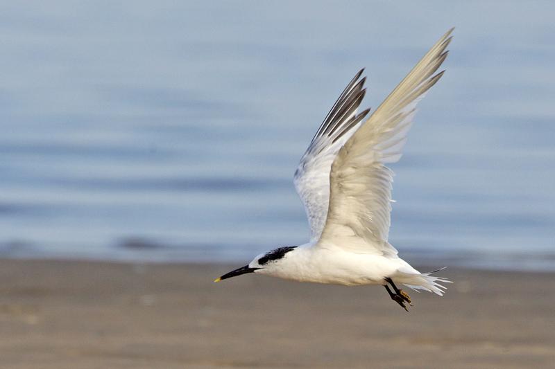 Grote Stern Berkheide strand vliegend
