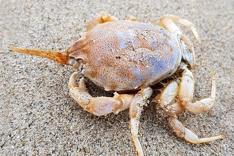 Helmkrab Berkheide strand aangespoeld