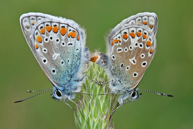 Icarusblauwtjes parend Berkheide