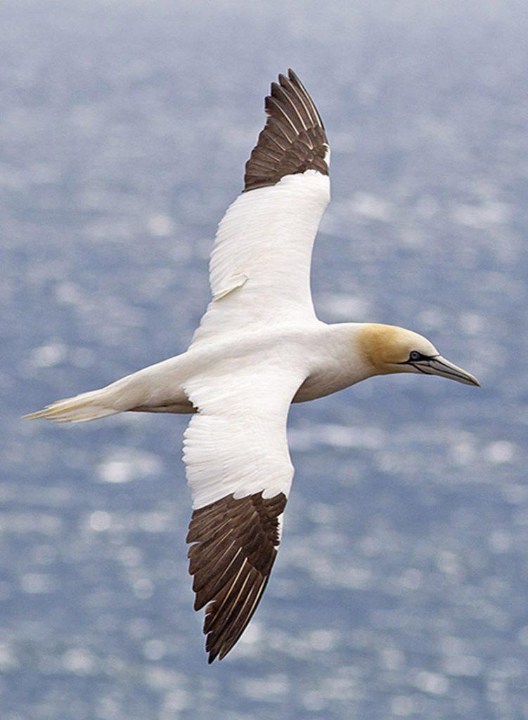 Jan-van-gent Berkheide zee