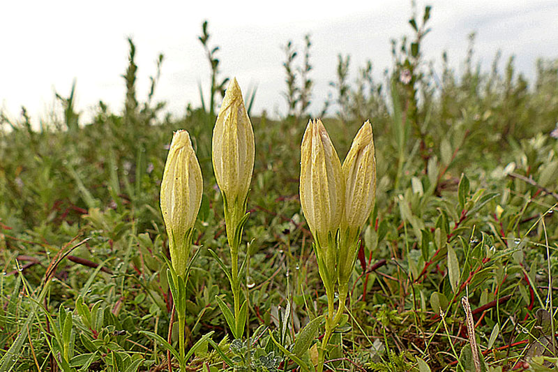 Klokjesgentiaan wit bloemen Berkheide