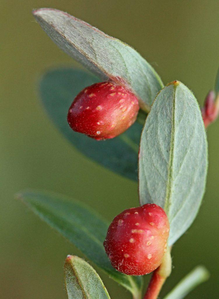 Kruipwilgbladwesp Pontania collactanea gallen Kruipwilg Berkheide