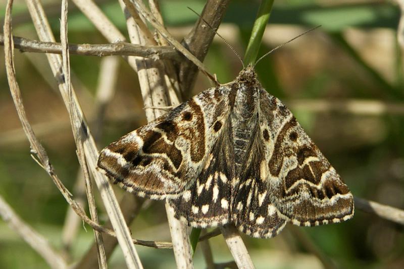 Mi-vlinder nachtvlinder Berkheide