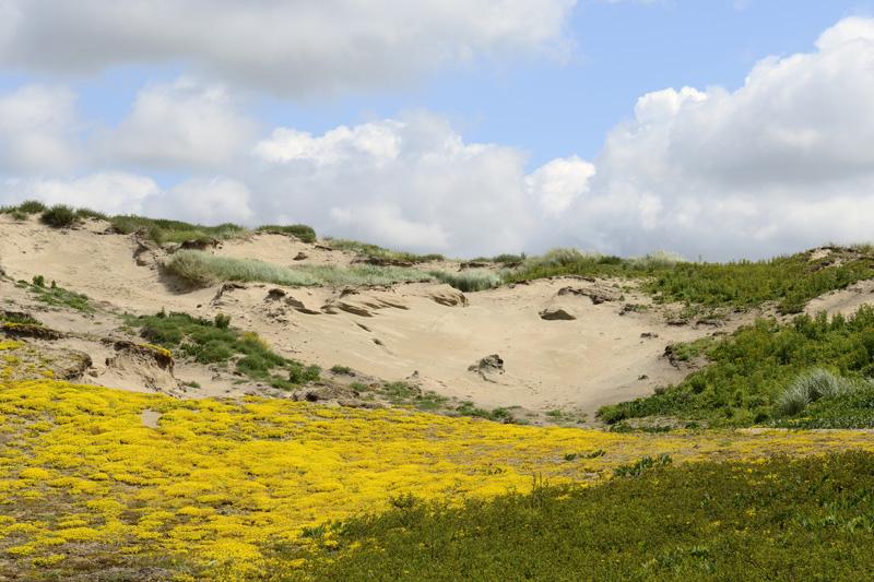 Muurpeper Coepelduynen bloeiend geel