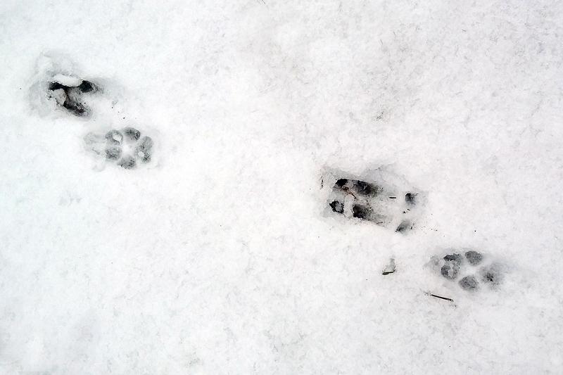Ree Vos sporen sneeuw Berkheide